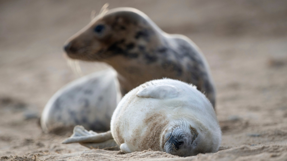 A grey seal and her pup on the beach at Horsey Gap in Norfolk, England, Sunday Jan. 10, 2021.