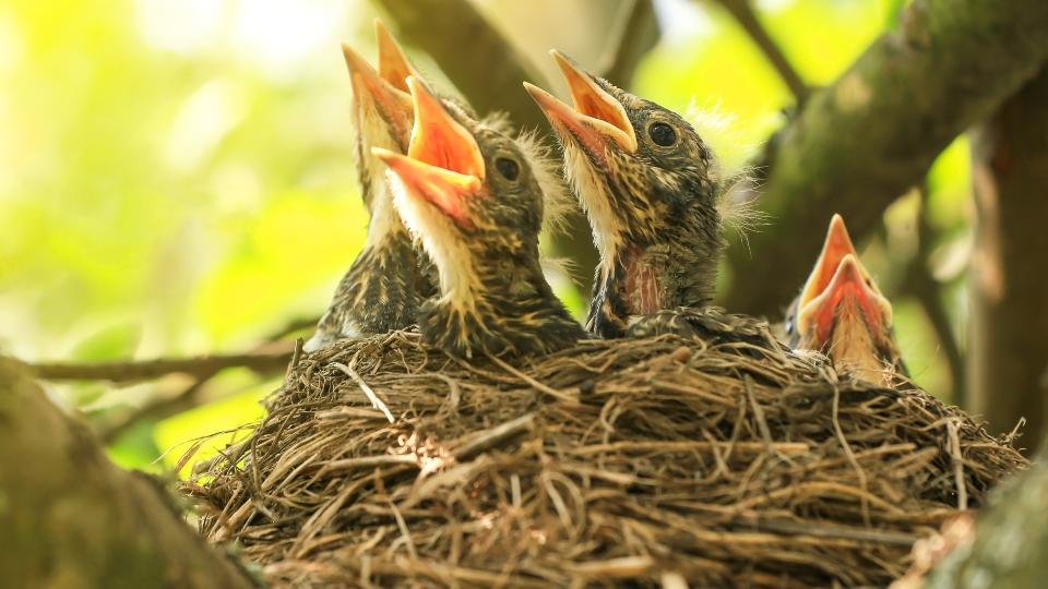 Baby birds sitting in a nest.