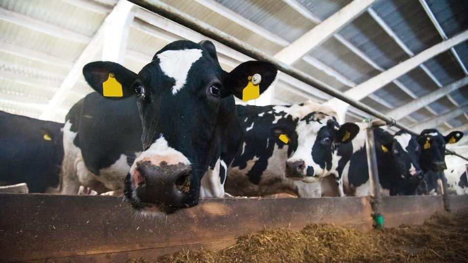 Dairy farm, cows