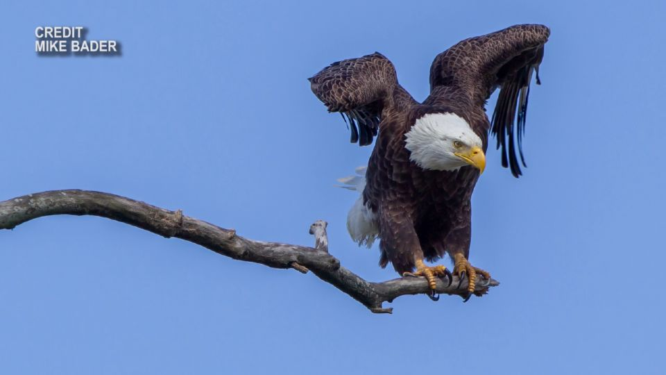 The comeback of the bald eagle in Ohio is one of the state's all-time great wildlife recovery stories. Forty-one years ago, they were four nests away from being extinct. Today, their population is soaring.