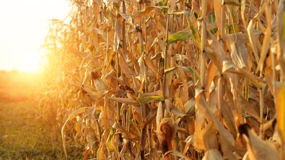 A corn field with the sunset in the background.