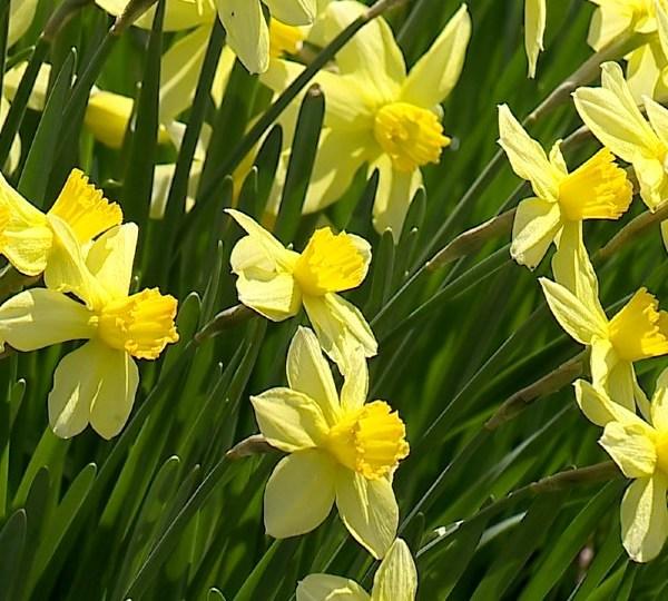 Daffodil Meadow in Mill Creek Park