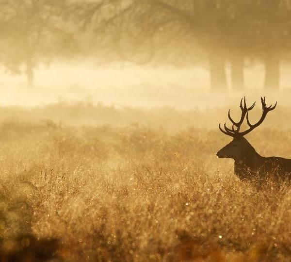 deer-generic