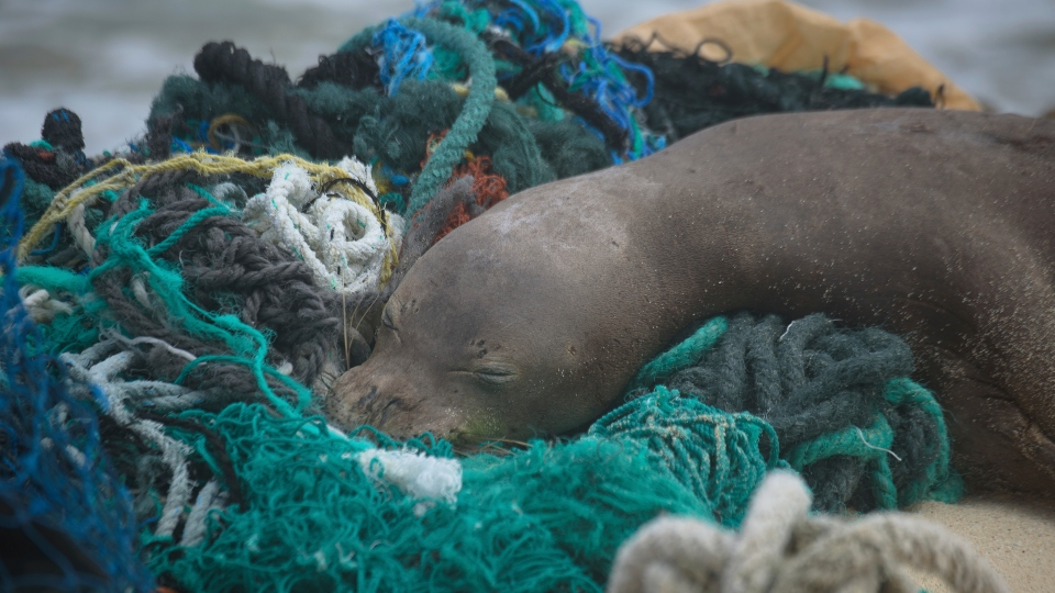 In this April 5, 2021 photo provided by Matthew Chauvin, a juvenile Hawaiian monk seal rests on top of a pile of ghost nets on the windward shores of Laysan Island in the Northwestern Hawaiian Islands.