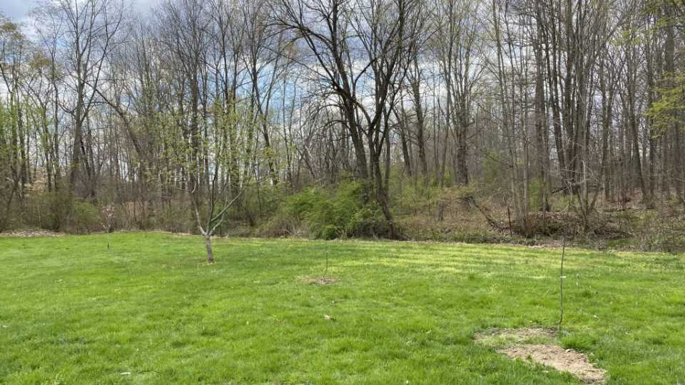 A Shenandoah pear tree and Anjou red pear tree planted near a mature apple tree and year-old peach tree.