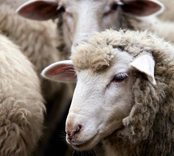 Sheep, wool, livestock