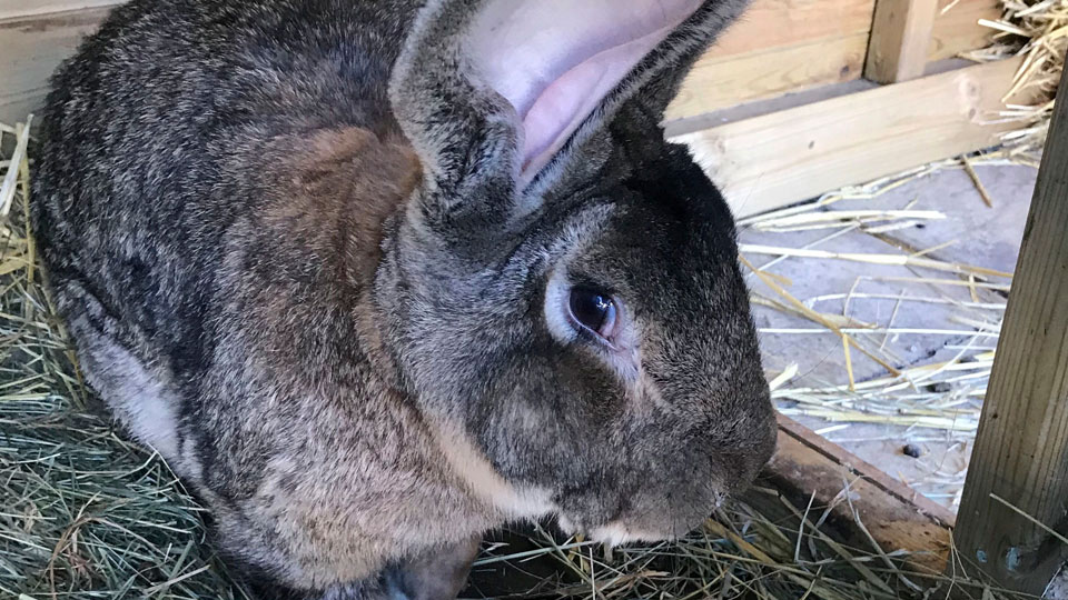 The world's biggest rabbit, Darius, who has been stolen from it's home in Worcestershire, police have said