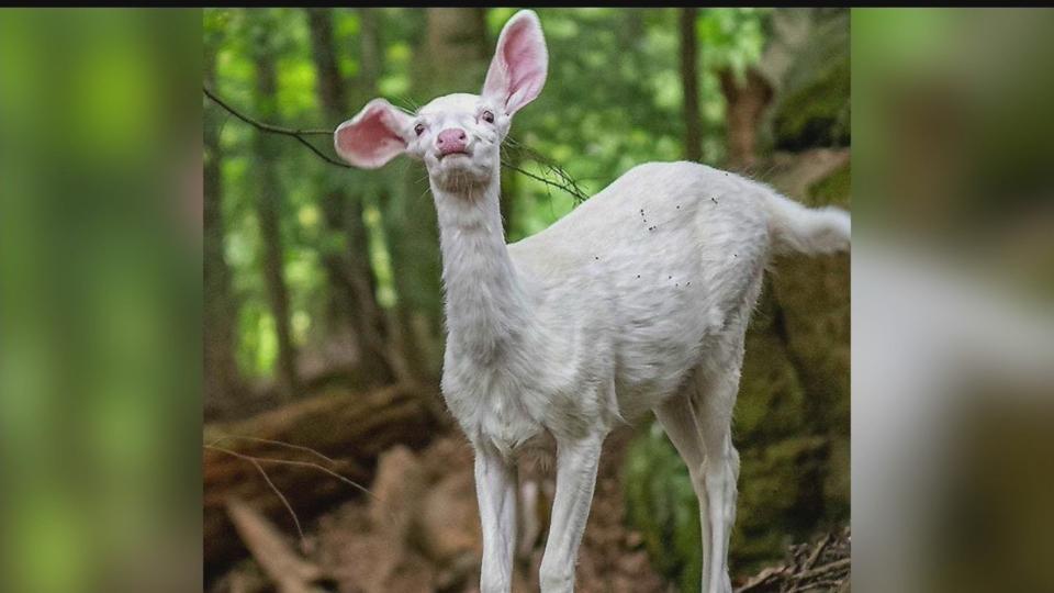Bella, Mill Creek white deer