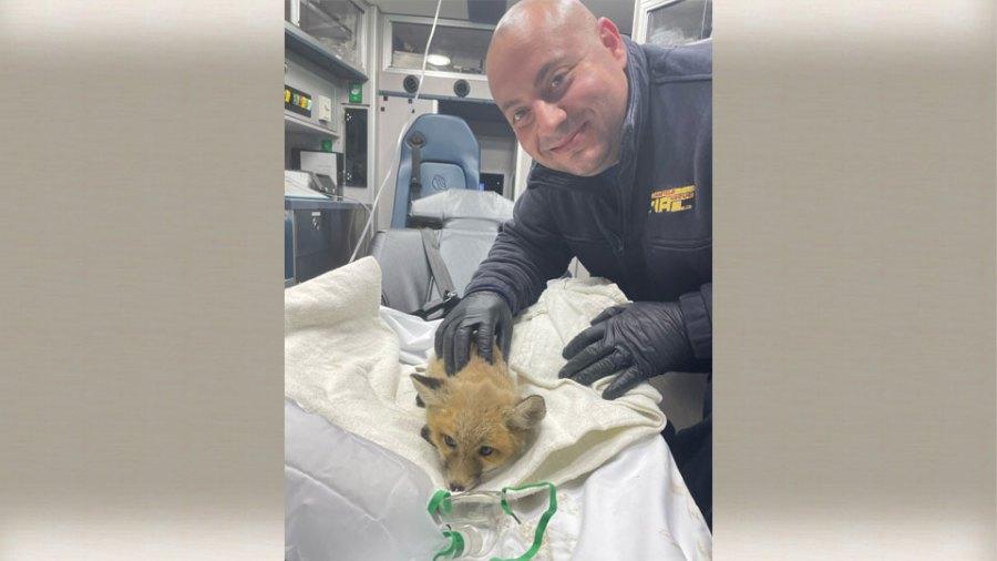 Canfield fox rescue 1