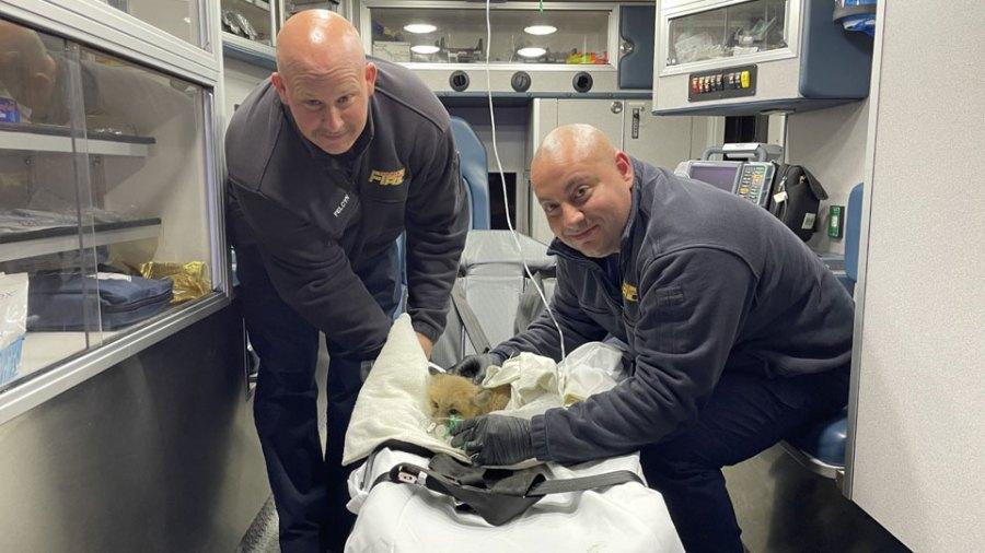 Canfield fox rescue 4