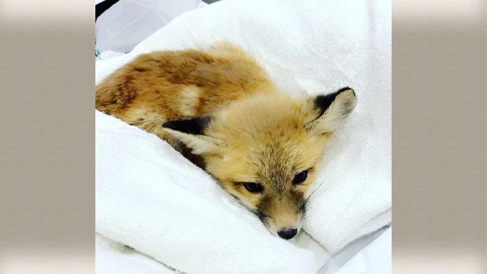 Canfield fox rescue 6