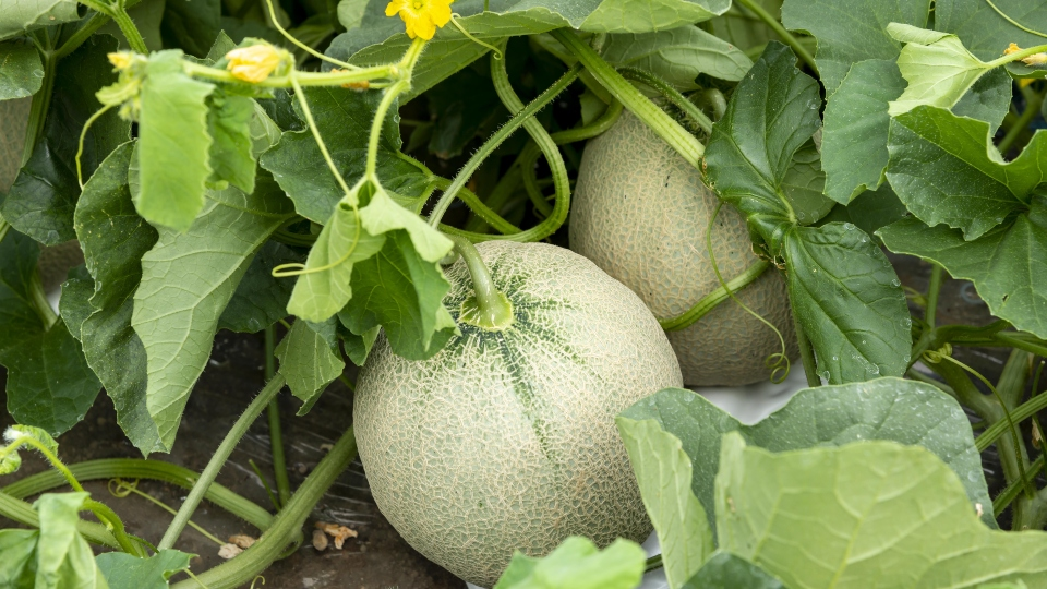 Melon plants, gardening, fruit