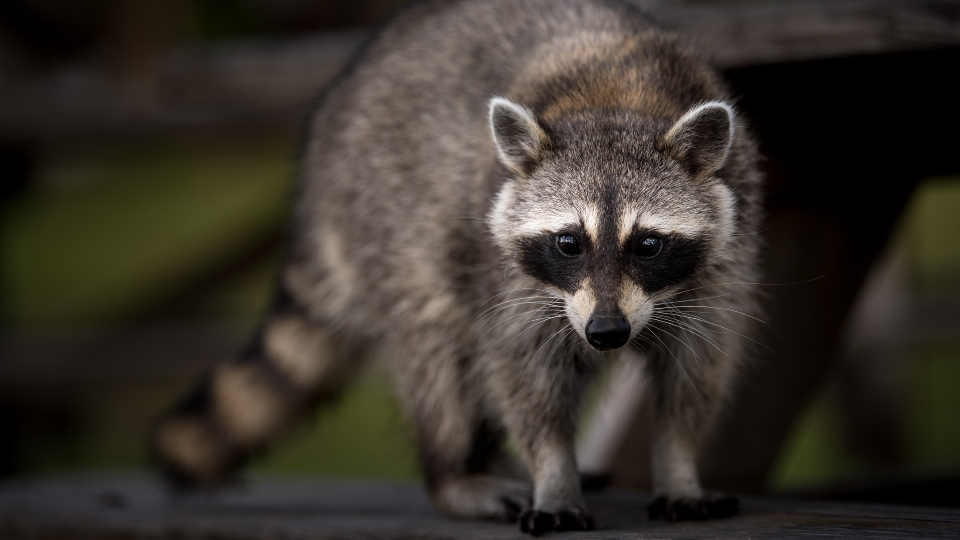 Close-up of raccoon