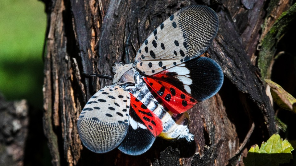 Spotted Lanternfly in Pennsylvania