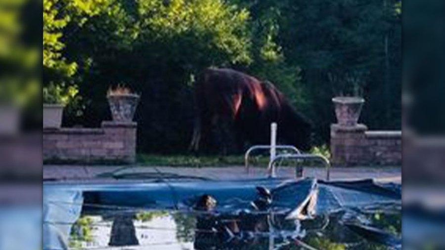 Bull in pool