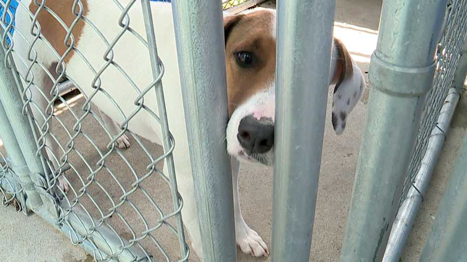In Mercer County, the end of the COVID-19 pandemic is apparently causing more trouble for the Shenango Valley Shelter as dogs and cats adopted during last year's lockdown are now filling the shelter to overflowing.