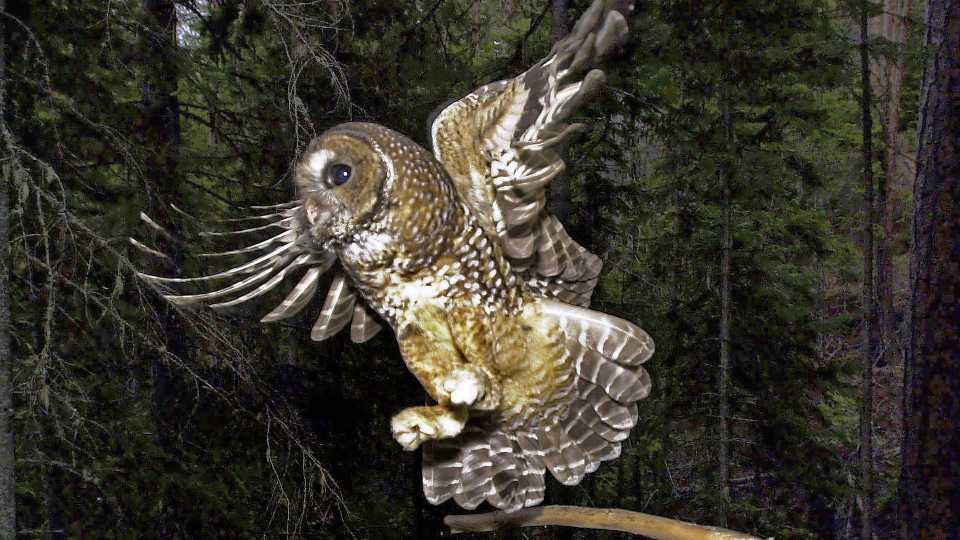 FILE - In this May 8, 2003, file photo, a northern spotted owl flies after an elusive mouse jumping off the end of a stick in the Deschutes National Forest near Camp Sherman, Ore. The Biden administration said Friday, June 4, 2021, it is canceling or reviewing a host of actions by the Trump administration to roll back protections for endangered or threatened species, with a goal of strengthening a landmark law while addressing climate change. Under Trump, officials rolled back protections for the northern spotted owl, gray wolves and other species, actions that President Joe Biden has vowed to review