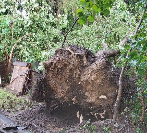 Niles tree uprooted