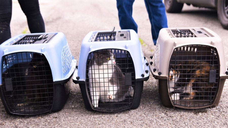Some of the cats rescued by humane agents today inside a 166 W. Earle Ave. home in Youngstown that was being demolished because it is a health hazard.