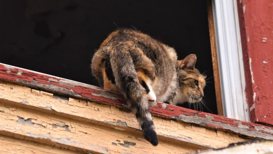 One of the cats humane agents tried to rescue today at a 166 W. Earle Ave. home in Youngstown that is being demolished pauses in an upper window. The agents were able to go back inside and get the cat