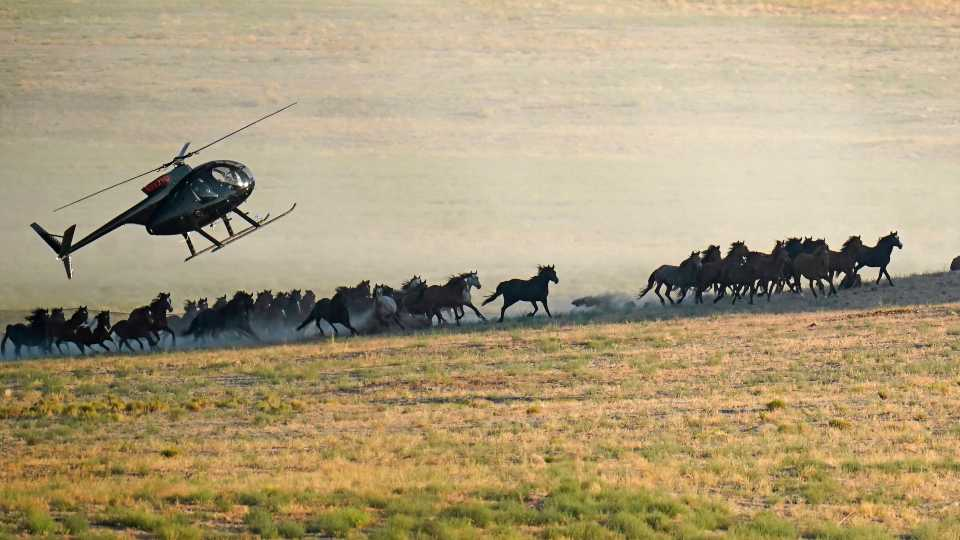 A helicopter pushes wild horses during a roundup on July 16, 2021, near U.S. Army Dugway Proving Ground, Utah. Federal land managers are increasing the number of horses removed from the range this year during an historic drought. They say it's necessary to protect the parched land and the animals themselves, but wild-horse advocates accuse them of using the conditions as an excuse to move out more of the iconic animals to preserve cattle grazing.
