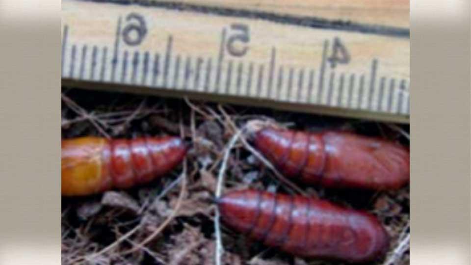 Fall armyworm 6