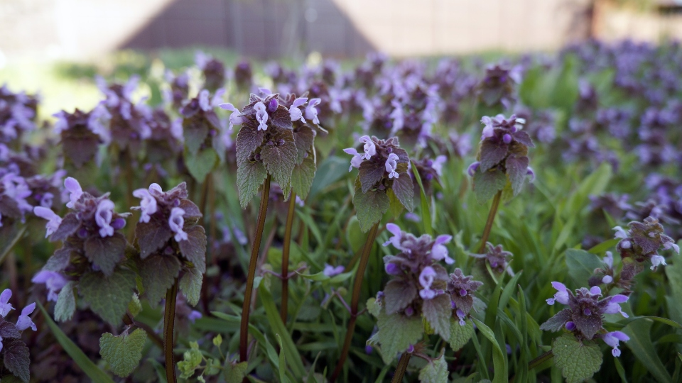 Ground ivy can take over for a number of reasons but it especially likes moist, shady areas.