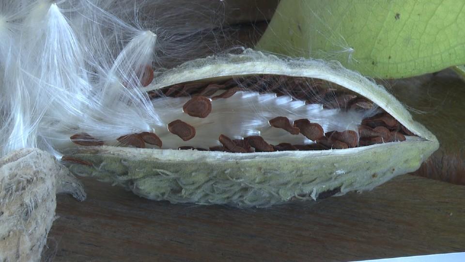 Milkweed seed pods