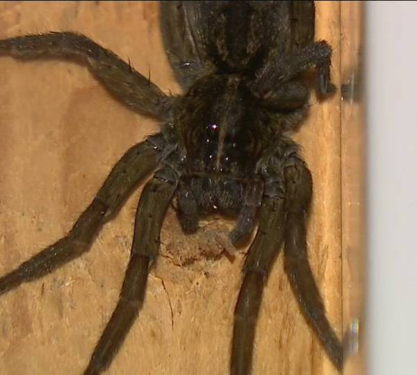 Halloween isn't the only thing that's creepy and crawly this time of year. Spiders emerging in and around your home are are too.